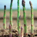 asparagus-2013